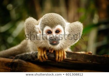 Ardilla mono bebé cara feliz naturaleza Foto stock © justinb