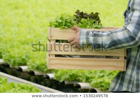 çiftçi · marul · organik · sebze · çiftçiler · eller - stok fotoğraf © artrachen