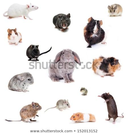 skinny guinea pig isolated on the white background Stock photo © joannawnuk