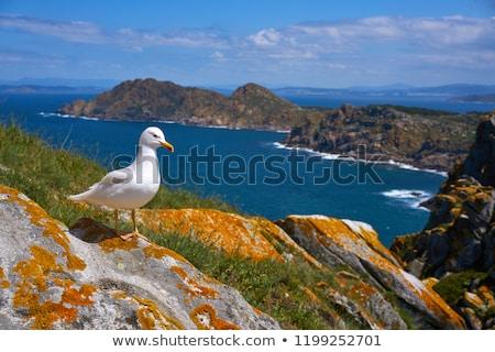 Islas Cies islands seagull sea gull bird in Galicia Stock photo © lunamarina