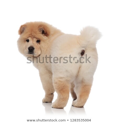 back view of a cute chow chow puppy dog standing  Stock photo © feedough