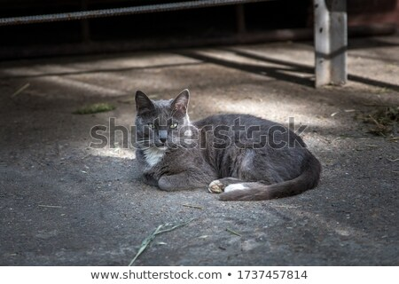 lovely grey cat resting and looking to side Stock photo © feedough