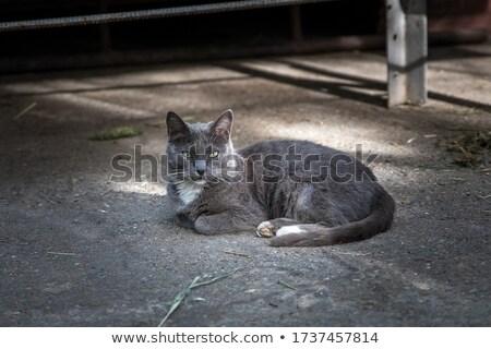 Grigio cat riposo guardando lato bianco Foto d'archivio © feedough
