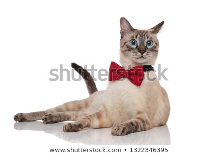 stylish burmese cat in awe lying and looking to side Stock photo © feedough