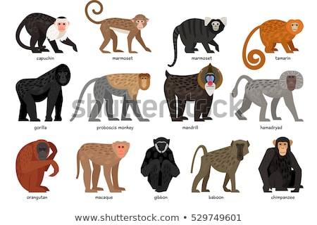 Set of different monkeys stock photo © colematt