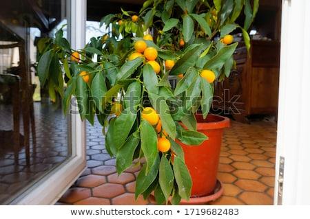 Citrus plant Stock photo © trgowanlock