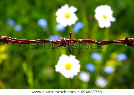 barbwire and daisy flowers on a meadow Stock photo © prill