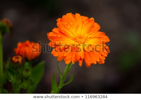 Laranja flor orvalho estúdio fotografia Foto stock © boroda