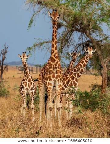 group of giraffes in the savannah stock photo © prill