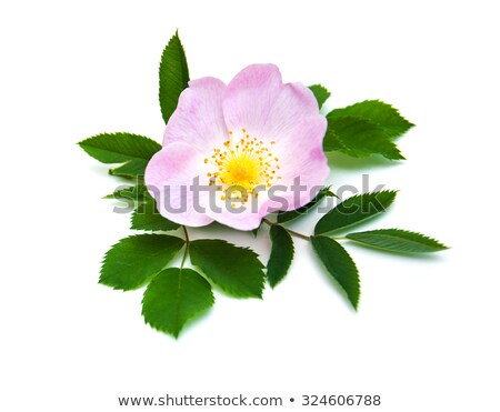 Frame with pink dog-rose flowers Stock photo © boroda