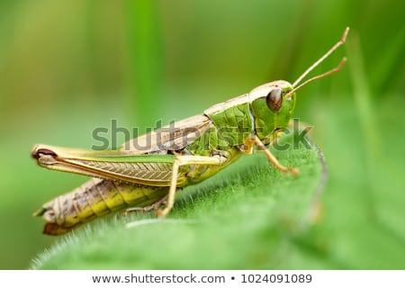 ストックフォト: グラスホッパー · 緑色の葉 · 草 · 自然 · 夏 · 脚