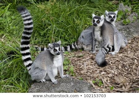 Madagascar's ring-tailed lemur sitting in funny pose outdoors. stock photo © Pilgrimego