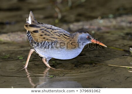 Water rail vogel natuur Stockfoto © chris2766