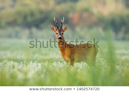 roebuck in big grass stock photo © taviphoto