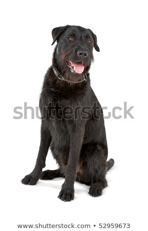 vegyes · fajta · fekete · kutya · ül · fehér - stock fotó © eriklam