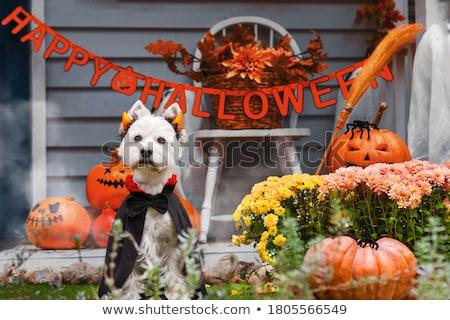 犬 · カボチャ · 衣装 · 見える · 準備 · 再生 - ストックフォト © LynneAlbright