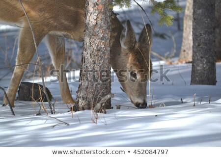 A Fawn Doe eating in winter Stock photo © mybaitshop