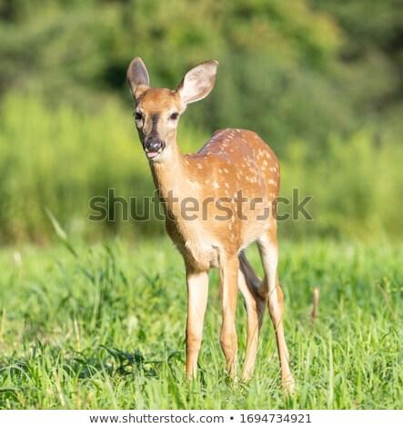 deer fawn grazing  Stock photo © taviphoto