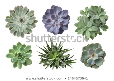 succulent plats) Stock photo © jonnysek