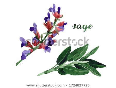 Szałwia roślin świeże Wazon odizolowany biały Zdjęcia stock © italianestro
