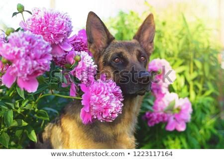 German Shepherd Dog Short-haired in a garden Stock photo © CaptureLight