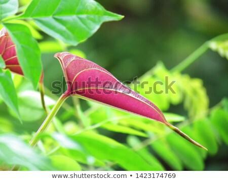 yam leaf in tropics Stock photo © kubais