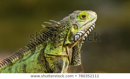 iguana closeup stock photo © oleksandro