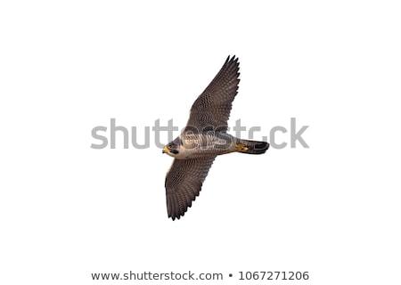 Isolato falcon faccia uccello bianco animale Foto d'archivio © asturianu
