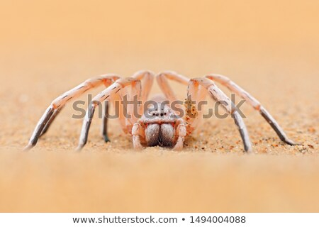 Golden Cartwheeling Spider (Carparachne aureoflava) Stock photo © dirkr