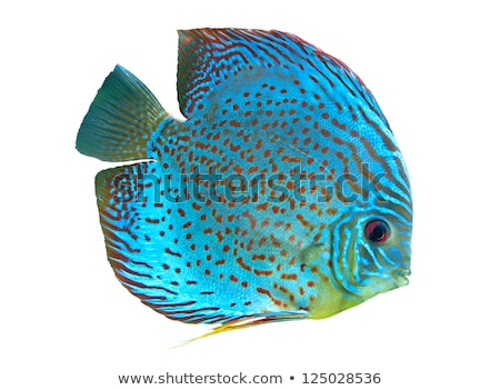 red and blue discus fish Stock photo © Mikko
