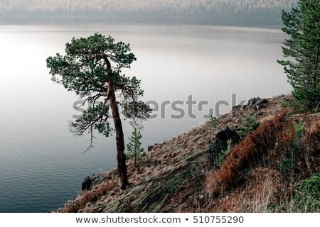 hazelnuts and pine tree twigs Stock photo © mady70