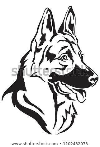 Stockfoto: Herder · hond · geïsoleerd · witte · natuur · leuk