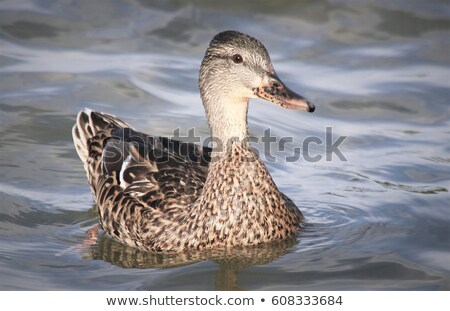 Vrouwelijke wateroppervlak eend zwemmen voorjaar natuur Stockfoto © taviphoto