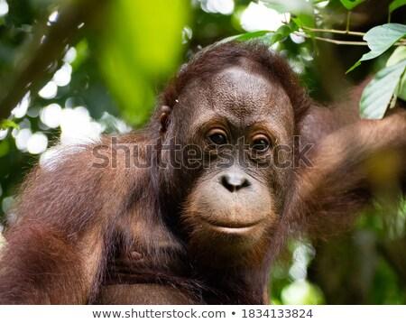 Orangutan portre çim üzücü maymun hayvan Stok fotoğraf © igabriela