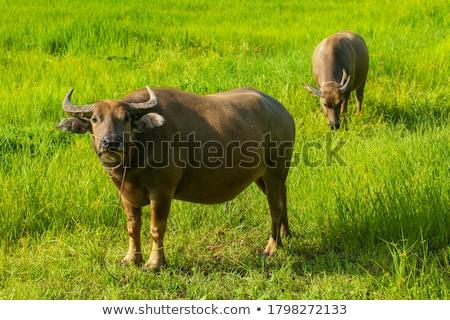 ビッグ · 牛 · フィールド · 食べ · 草 · 花 - ストックフォト © master1305