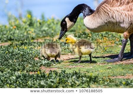 Canada Goose - Branta Canadensis, gosling Stock photo © yhelfman