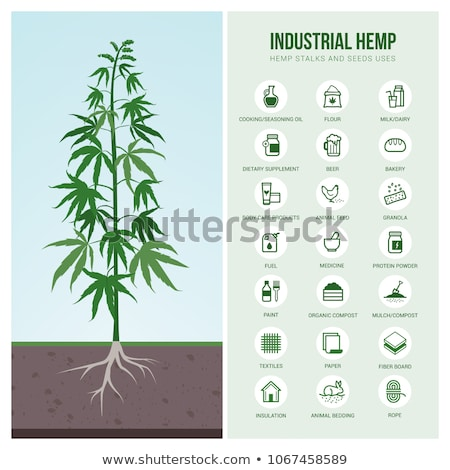 Leaf of the plant Cannabis sativa Stock photo © bluering