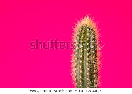 Kaktusz illusztráció mutat fehér oktatás zöld Stock fotó © bluering
