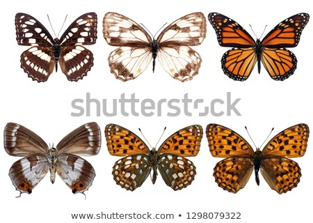 Monarch butterflies in six different color wings Stock photo © bluering