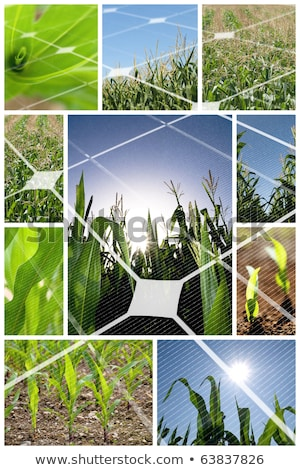 Collage of maize on the field Stock photo © tish1
