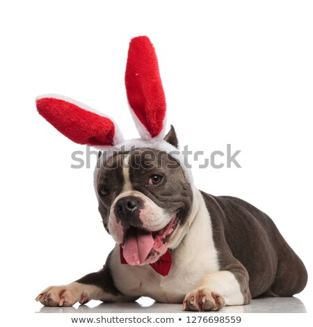 adorable american bully wearing bunny ears and bowtie relaxing Stock photo © feedough