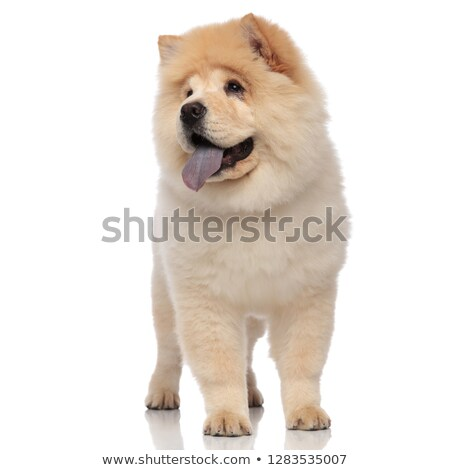 adorable chow chow pants and looks to side while standing Stock photo © feedough