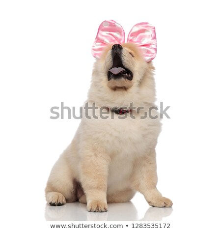 curuous chow chow wearing red collar and ribbon looks up stock photo © feedough