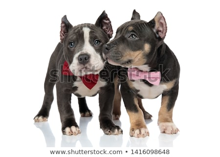American bully puppy wearing a bowtie and looking curiously to s Stock photo © feedough