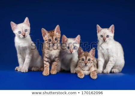 雪 子猫 白 かわいい 座って ストックフォト © CatchyImages