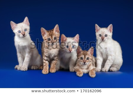 gatito · hasta · blanco · feliz · ojos · azul - foto stock © catchyimages