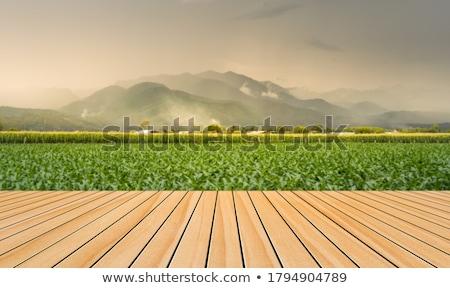 Ahşap zemin mısır alan tarla mavi gökyüzü Stok fotoğraf © szefei