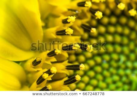 zonnebloem · witte · weinig · beetje - stockfoto © CatchyImages