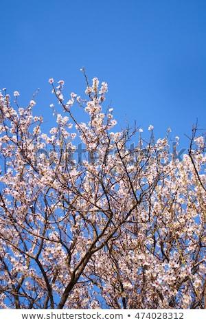 Elma ağacı çiçekler bahar bahçe güzel Stok fotoğraf © Anneleven