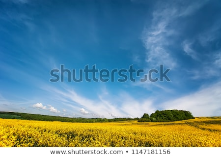 Blue  sky and Rape field, canola crops  Stock photo © yoshiyayo